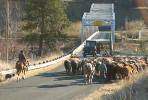 White Bird Cattle Drive over Salmon River on Silver Bridge by Swiftwater RV Park